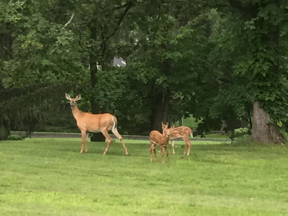Deer on the grounds at OLC